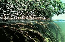 Above and  Below Mangroves
