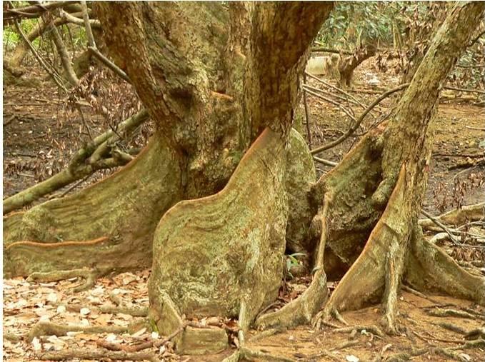 Cannonball Mangrove1