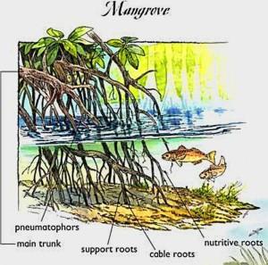 FISH MANGROVE