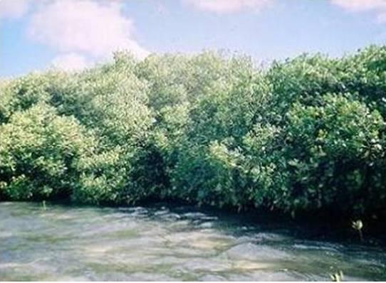 Hybrid Mangroves
