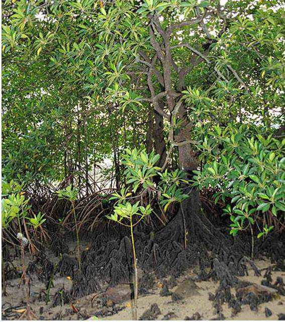 Large Leafed Mangroves2