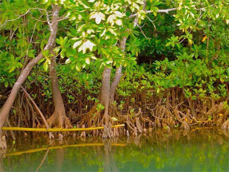 Mangroves for Fiji