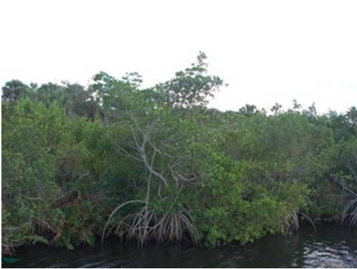 Samoan Mangroves